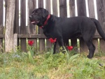 Black dog & red flowers