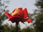 Red with yellow rose