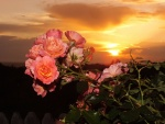 Pink roses at sunset